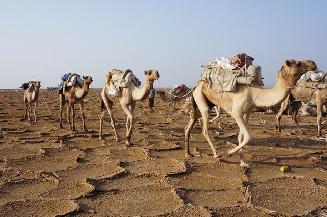 Danakil Depression-2: Camel Caravans | jtgertz